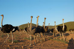 South Africa - Oudtshoorn